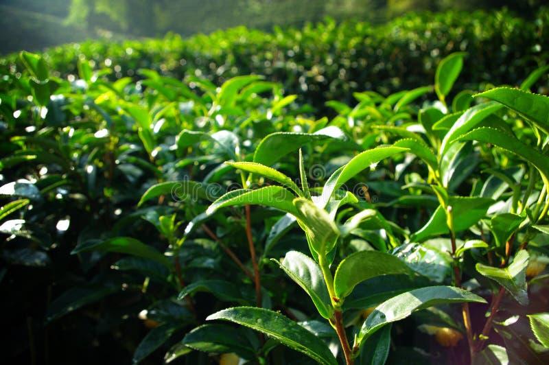 Cultivo de árbol del té en la colina fotos de archivo libres de regalías