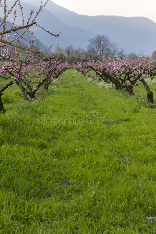 Cultivo de árvores de pêssego imagens de stock royalty free