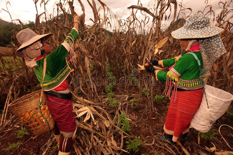 CULTIVO DE ÁSIA TAILÂNDIA CHIANG MAI imagem de stock royalty free