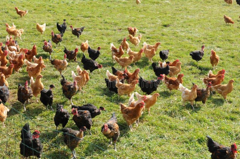 Cultivo de aves domésticas em en Vexin de Brueil foto de stock royalty free