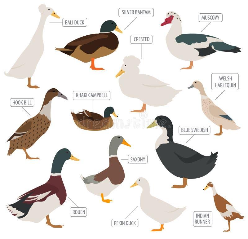 Cultivo de aves domésticas O pato produz o grupo do ícone Projeto liso ilustração royalty free