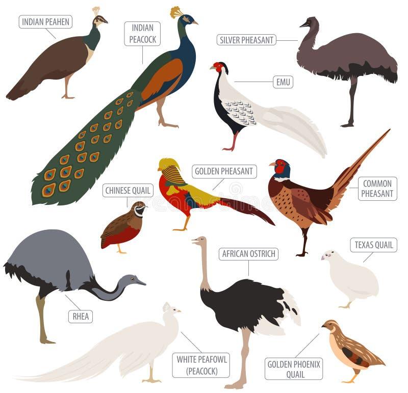 Cultivo de aves domésticas O Peafowl, avestruz, faisão, codorniz produz o ícone s ilustração royalty free