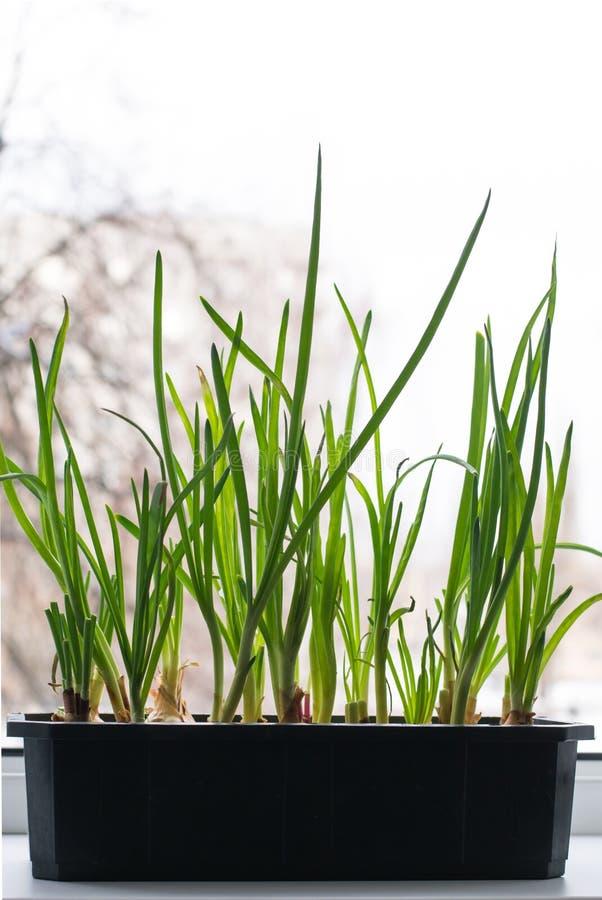 Cultivo de cebollas verdes imagen de archivo