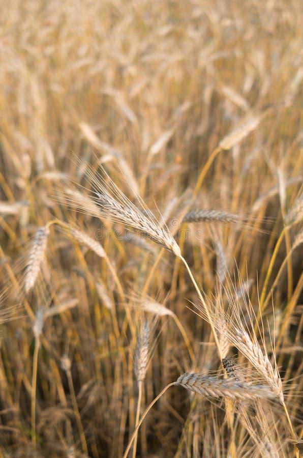 Cultivo de cereales, trigo fotos de archivo libres de regalías