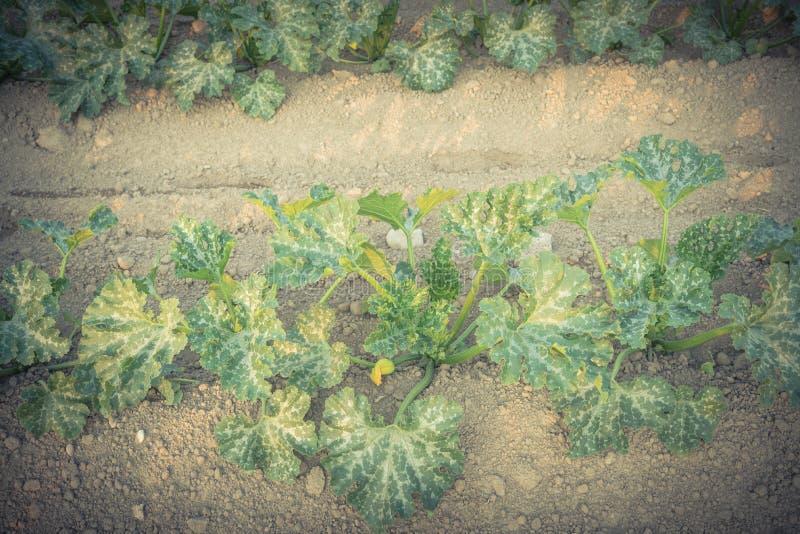 Cultivo de la calabaza de verano orgánica del calabacín en Kent, lavándose imagen de archivo libre de regalías