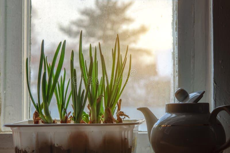 Cultivo de la cebolla verde en el travesaño de la ventana fotografía de archivo