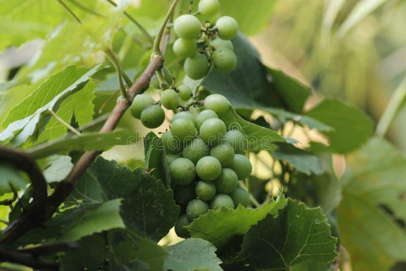 Cultivo de las uvas en Bangladesh foto de archivo
