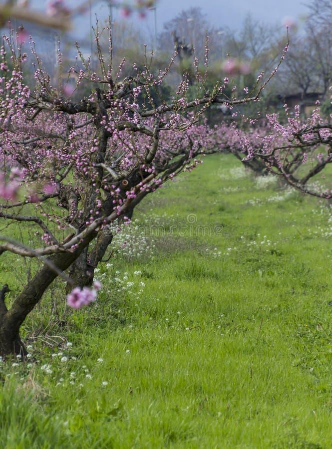 Cultivo de los árboles de melocotón fotografía de archivo