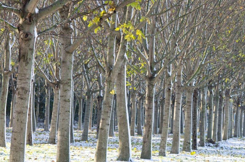Cultivo de los árboles de nuez fotos de archivo