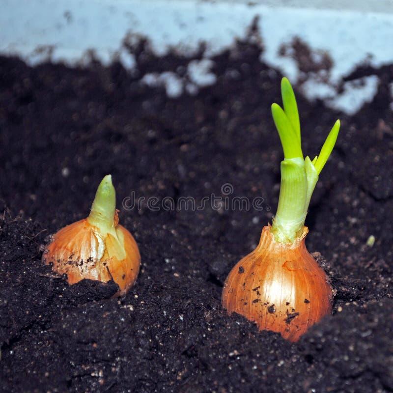 Cultivo de los almácigos de las cebollas verdes imagen de archivo