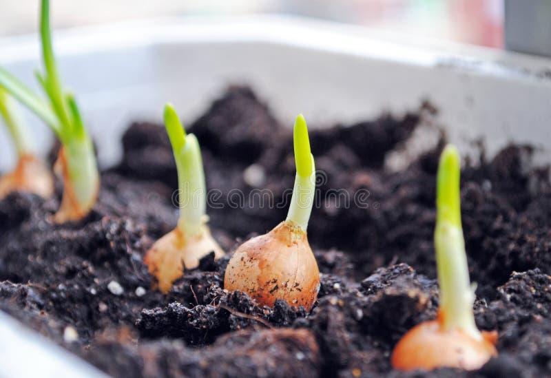Cultivo de los almácigos de las cebollas verdes imágenes de archivo libres de regalías