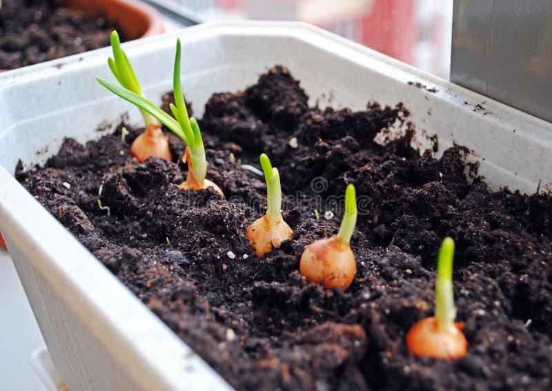 Cultivo de los almácigos de las cebollas verdes fotos de archivo libres de regalías