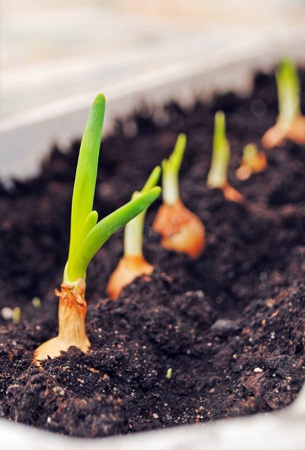 Cultivo de los almácigos de las cebollas verdes foto de archivo libre de regalías