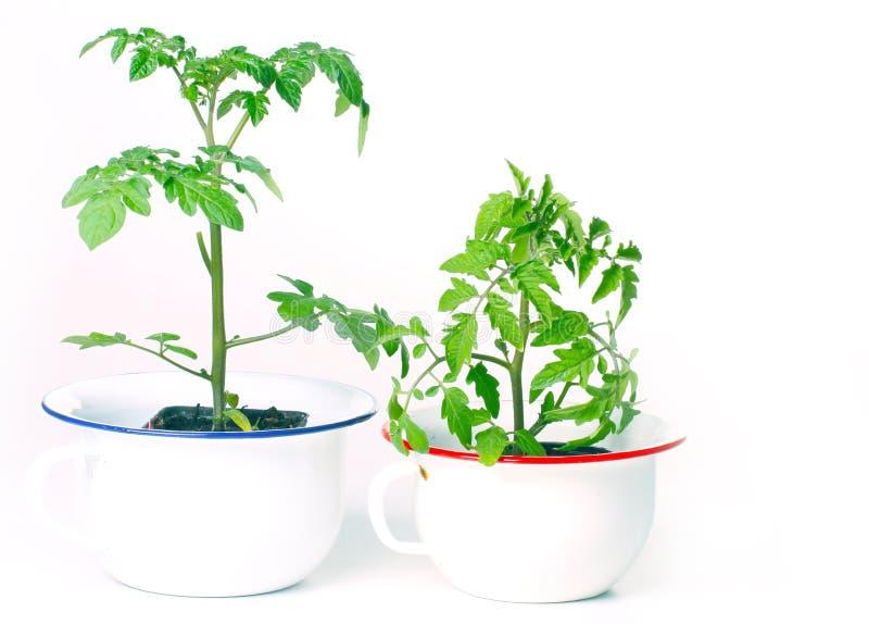 Cultivo de plantas de tomate foto de stock royalty free