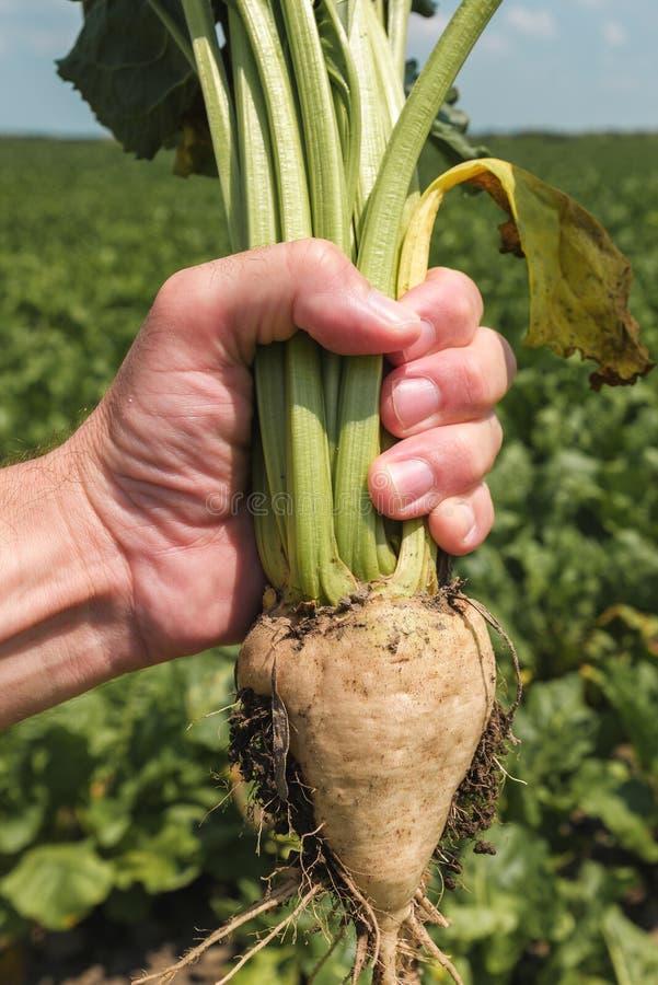 Cultivo de raíces extraído tenencia de la remolacha del granjero foto de archivo libre de regalías