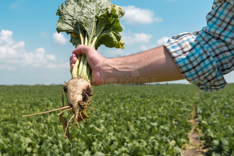 Cultivo de raíces extraído tenencia de la remolacha del granjero imagenes de archivo