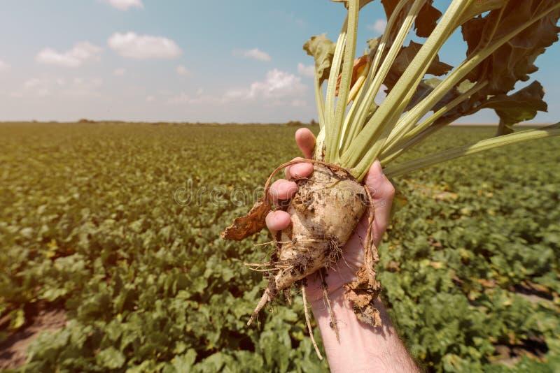 Cultivo de raíces extraído tenencia de la remolacha del granjero imágenes de archivo libres de regalías