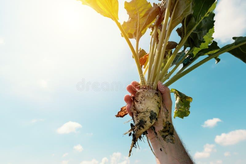 Cultivo de raíces extraído tenencia de la remolacha del granjero fotografía de archivo