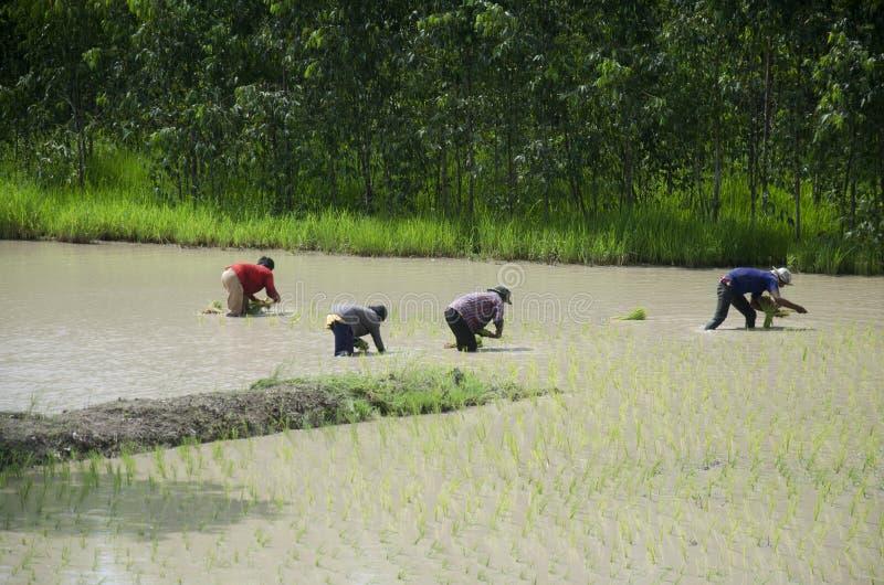 Cultivo de trasplante de trabajo del arroz de la gente tailandesa en campo de arroz fotografía de archivo libre de regalías