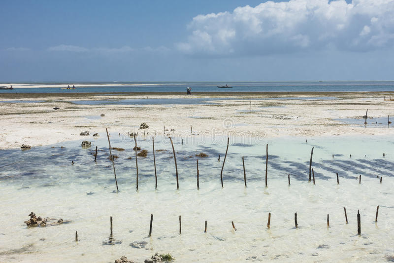 Cultivo de Zanzibar das algas imagem de stock royalty free