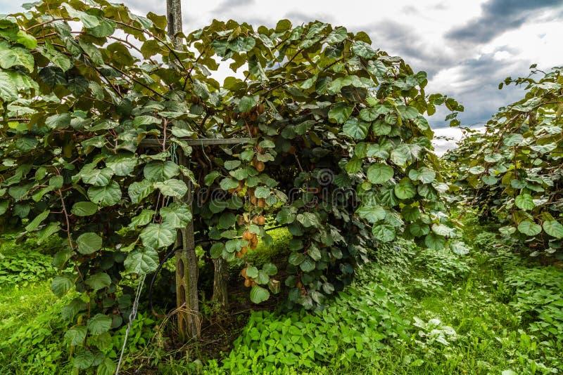 cultivo del kiwi en filas fotos de archivo libres de regalías