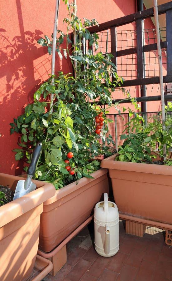 Cultivo Del Tomate En Los Floreros De Un Jardín Urbano Foto
