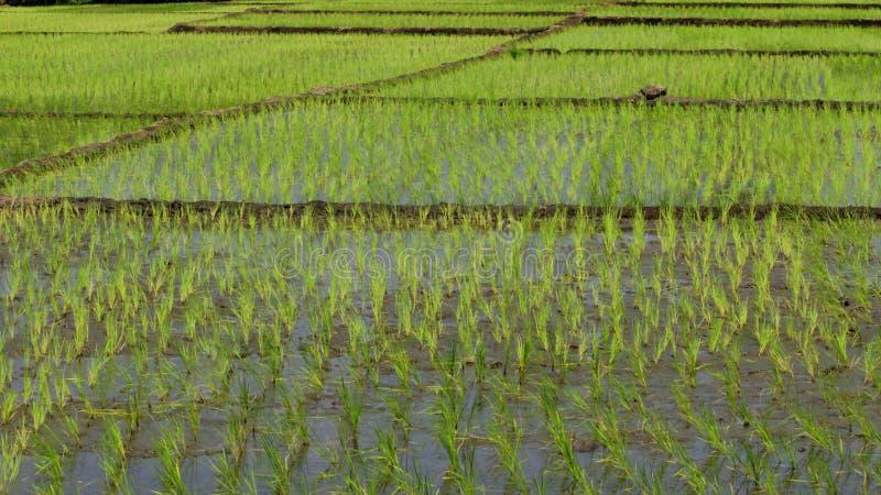 Cultivo do arroz para o fundo fotos de stock