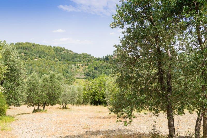 Cultivo do azeite de Toscânia Paisagem italiana imagens de stock royalty free