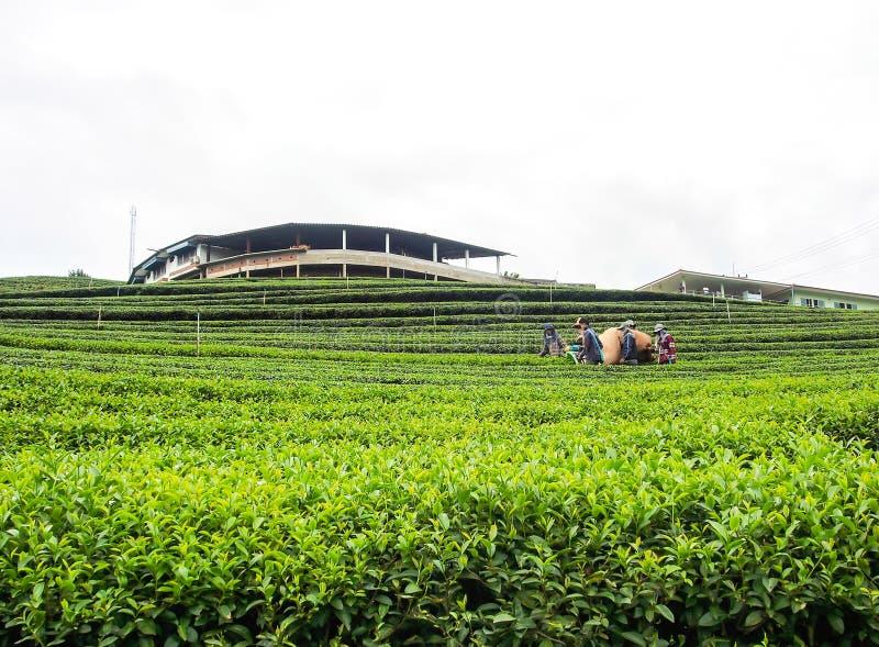 cultivo do chá em Tailândia fotografia de stock