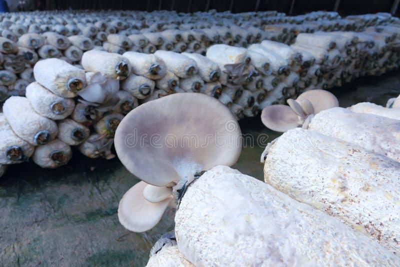 Cultivo do cogumelo do ostreatus do Pleurotus foto de stock