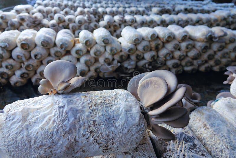 Cultivo do cogumelo do ostreatus do Pleurotus imagens de stock