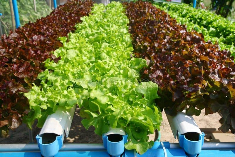 Cultivo do vegetal da hidroponia imagem de stock royalty free