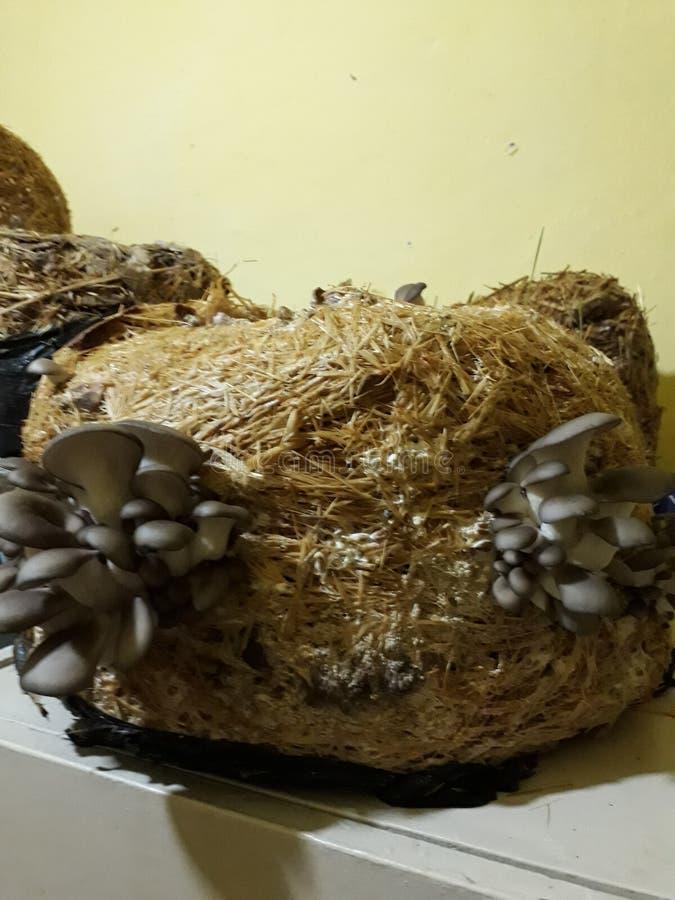 Cultivo dos cogumelos de ostra foto de stock royalty free