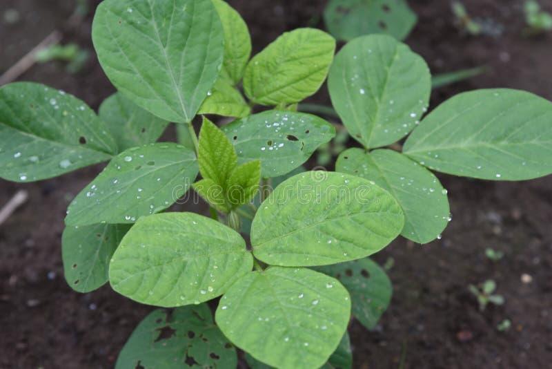 Cultivo dos feij?es de soja verdes foto de stock royalty free