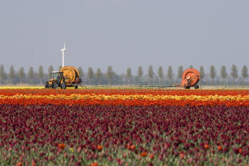 Cultivo dos Tulips fotos de stock royalty free
