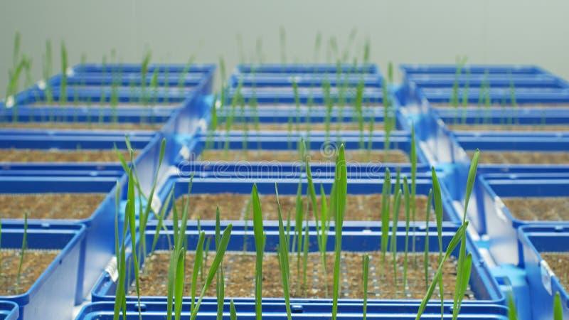 Cultivo experimental del invernadero tecnológico para la investigación científica del vulgare del Hordeum de la cebada y del t imagenes de archivo