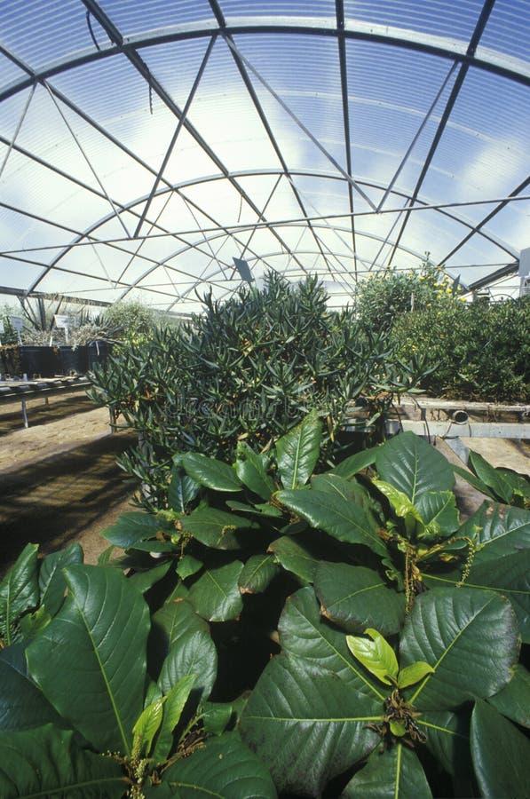 Cultivo hidropônico no laboratório de pesquisa ambiental da Universidade do Arizona em Tucson, AZ foto de stock