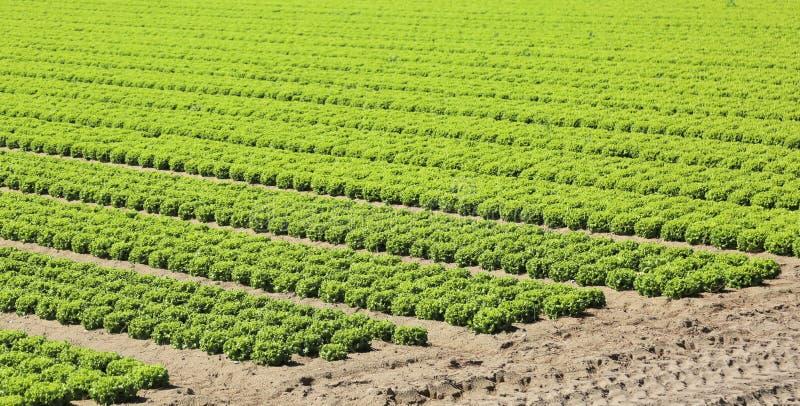Cultivo intensivo de la lechuga verde fresca en el muy fértil fotografía de archivo