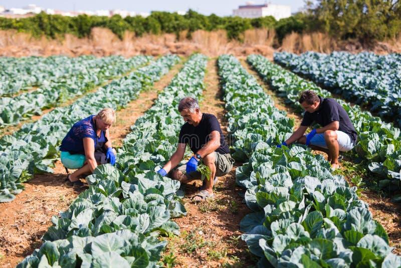 Cultivo, jardinagem, agricultura e família do conceito dos povos que colhe a couve na estufa na exploração agrícola Negócio de fa imagem de stock