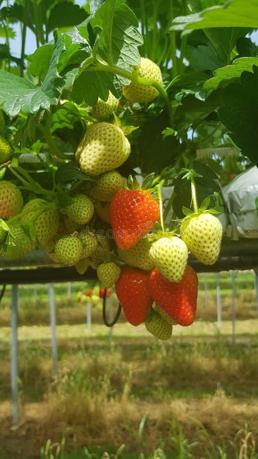 Cultivo moderno Cultivo de la vertical de la agricultura Granja elegante Granja de la fresa Invernaderos de la fresa Plantaci?n d imagenes de archivo