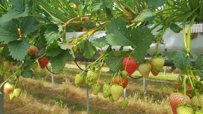 Cultivo moderno Cultivo de la vertical de la agricultura Granja elegante Granja de la fresa Invernaderos de la fresa Plantaci?n d imagen de archivo