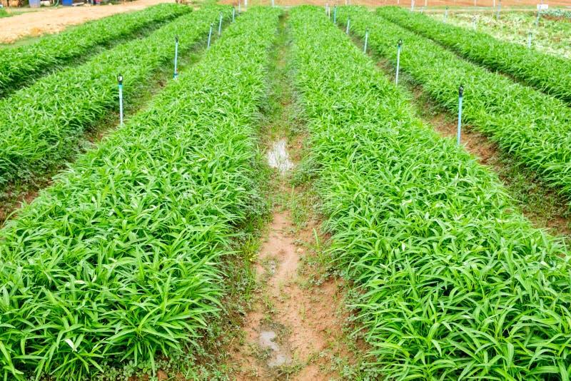 Cultivo orgânico cultivado da corriola no jardim imagem de stock royalty free