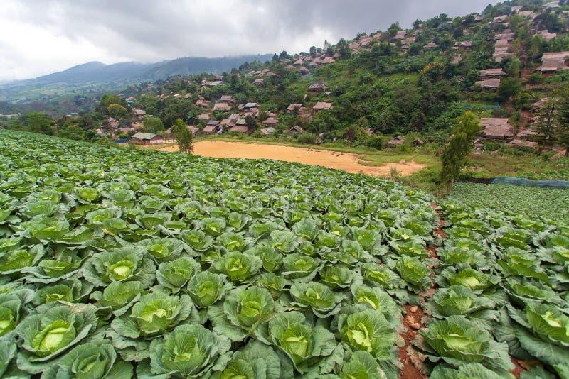 Cultivo orgânico do vegetal do cultivo da couve imagens de stock