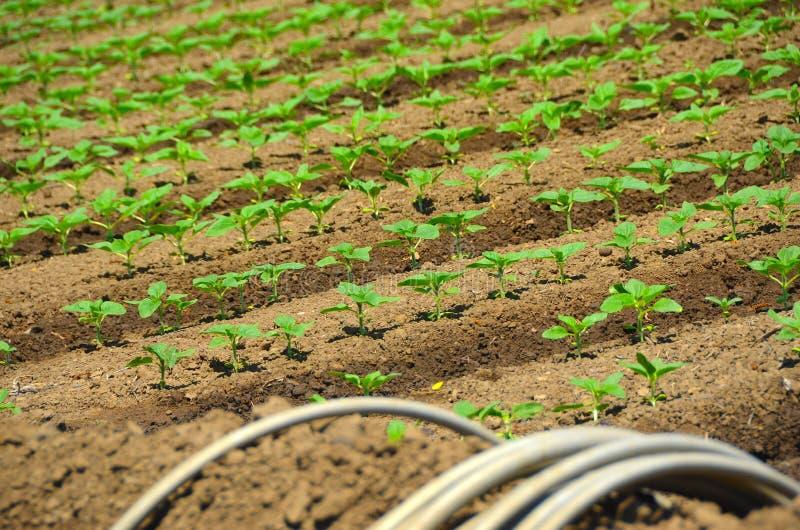 Cultivo orgânico dos girassóis imagens de stock