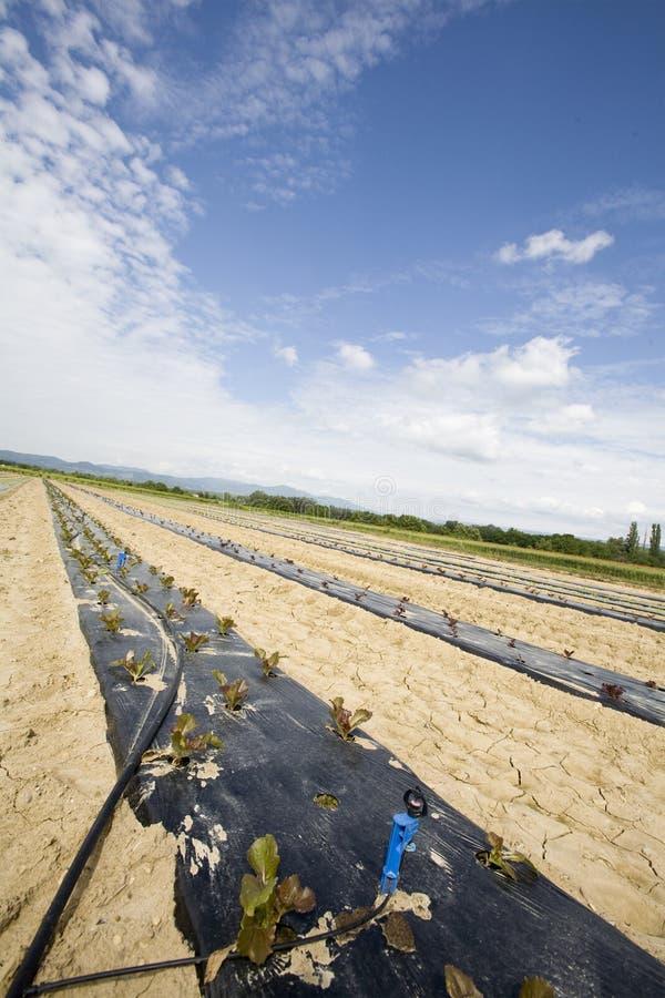 Cultivo vegetal intensivo con el irigation del agua fotografía de archivo libre de regalías