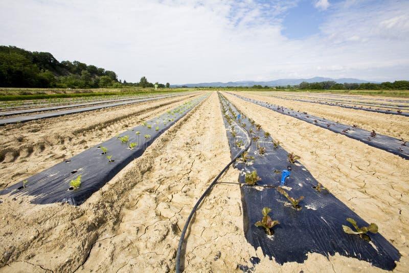 Cultivo vegetal intensivo con el irigation del agua imágenes de archivo libres de regalías