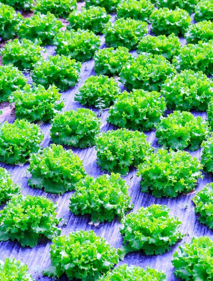 Cultivo verde orgânico das plantas da alface ou do vegetal de salada em r foto de stock royalty free