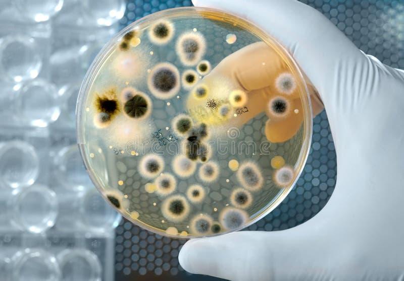 Cultura das bactérias fotos de stock royalty free