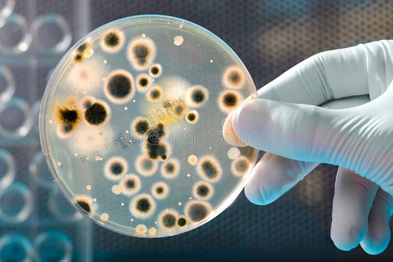 Cultura das bactérias fotografia de stock