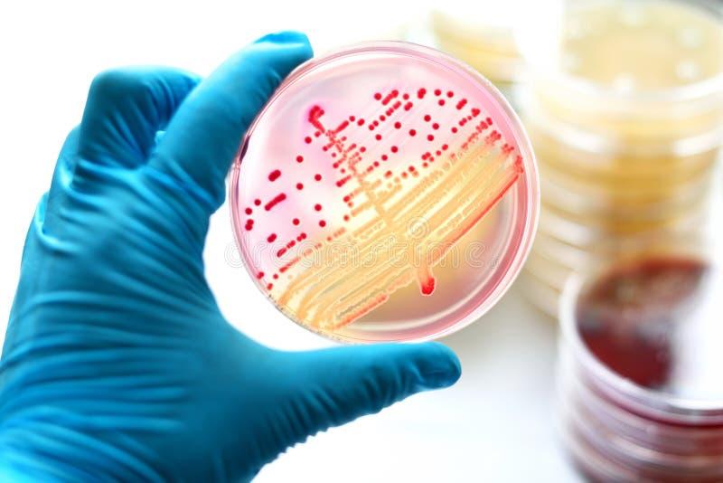 Cultura das bactérias imagem de stock royalty free